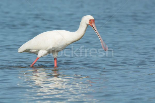 African Spoonbill almost smiling Stock photo © davemontreuil