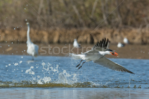 Caspian Tern taking to the air with fish after a dive Stock photo © davemontreuil