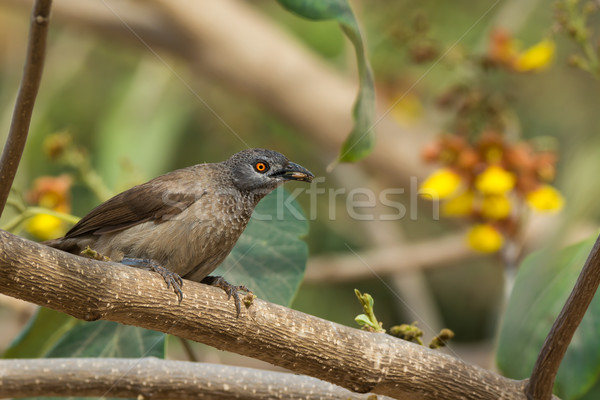 Brown Babbler with an insect in its mouth Stock photo © davemontreuil