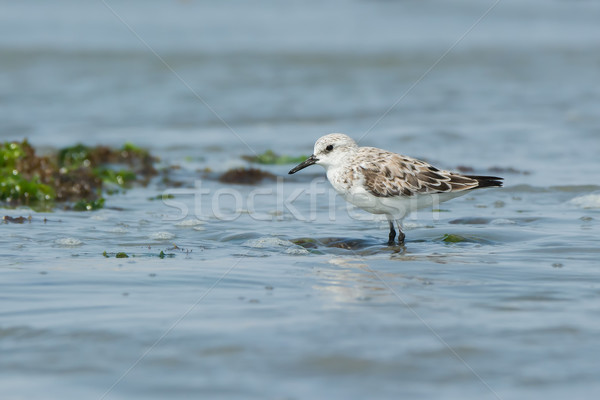 Sanderling standing on seaweed as the tide comes in Stock photo © davemontreuil