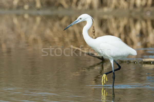 A white Western Reef Heron (Egretta gularis) wading with foot ra Stock photo © davemontreuil