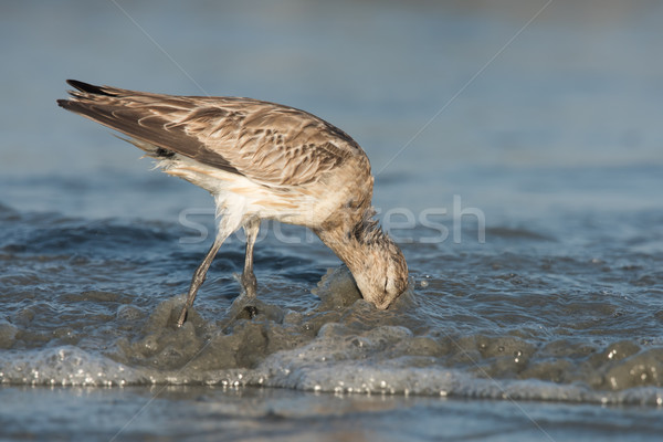 Bar-tailed Godwit (Limosa lapponica) plunging its head into the  Stock photo © davemontreuil