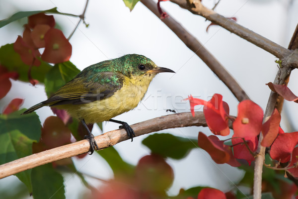 Collared sunbird (Hedydipna collaris) juvenile perched amongst f Stock photo © davemontreuil