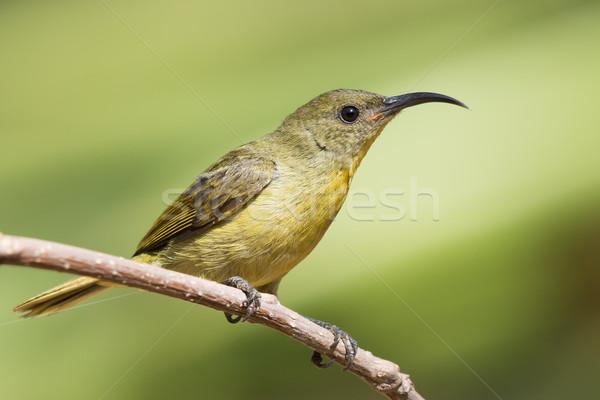 Oliva potável néctar pássaro jovem Foto stock © davemontreuil
