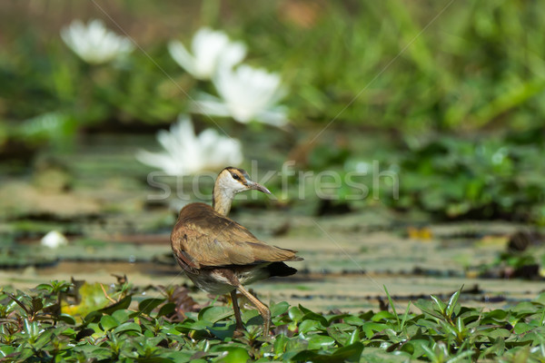 Young African Jacana looking back over its shoulder Stock photo © davemontreuil