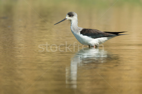 Black-winged Stilt standing in a pond Stock photo © davemontreuil