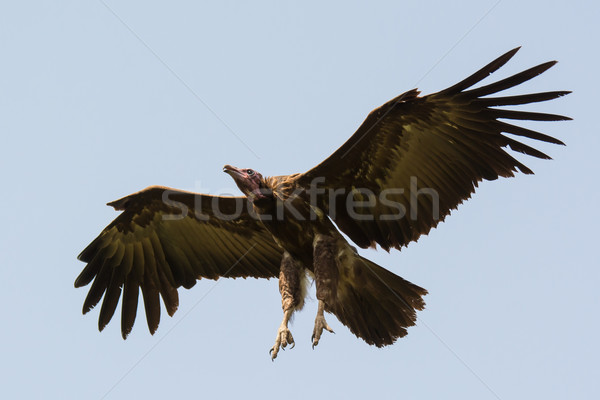 Hooded Vulture with legs out ready for landing Stock photo © davemontreuil