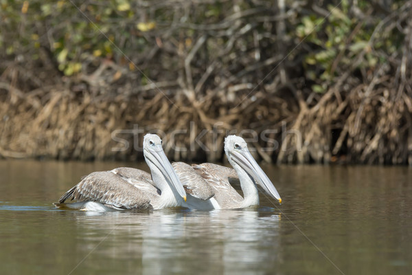 Two Pink-backed Pelicans floating in the mangroves Stock photo © davemontreuil