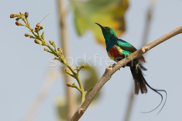 Male Beautiful Sunbird giving his tail streamers a shake Stock photo © davemontreuil