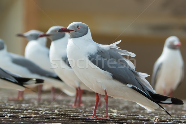 A Group of Grey-Headed Gulls lined up on a roof Stock photo © davemontreuil