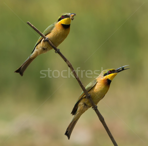 2 Little-Bee Eaters (Merops pusillus) both holding insects Stock photo © davemontreuil