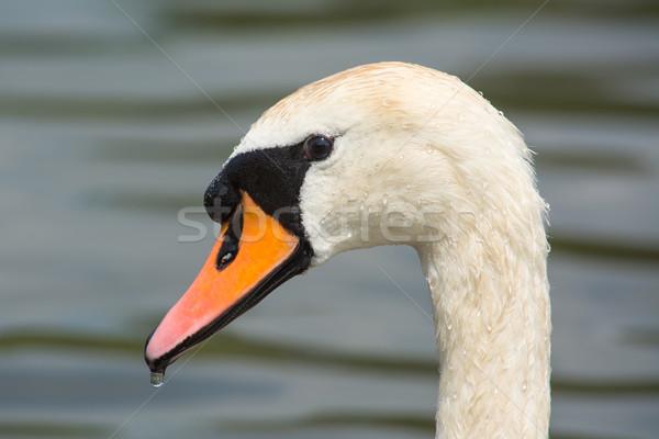 白鳥 プロファイル 表示 鳥 肖像 ストックフォト © davemontreuil