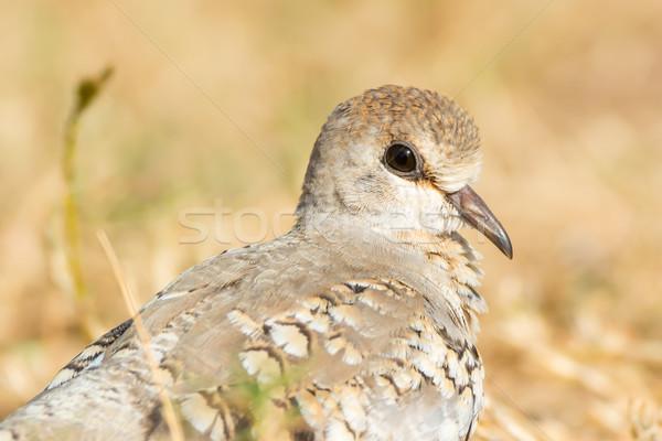 Dove ptaków Afryki głowie piękna Zdjęcia stock © davemontreuil