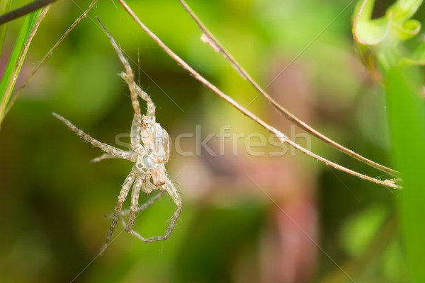Skin shed from a spider Stock photo © davemontreuil