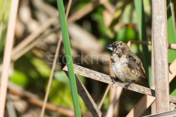 小さな 青銅 自然 動物 ストックフォト © davemontreuil