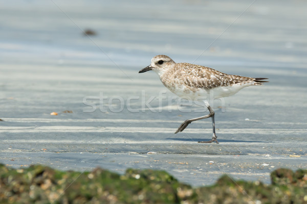 Grey Plover walking on the sand at low tide Stock photo © davemontreuil