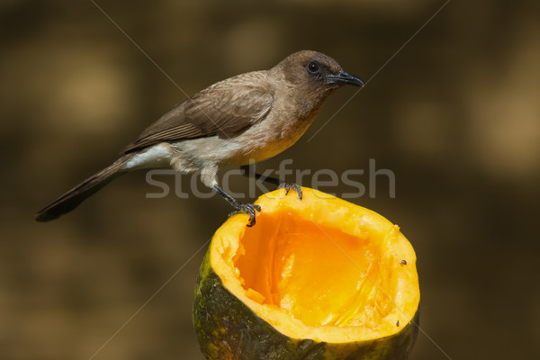 A Common Bulbul (Pycnonotus barbatus) perched on a papaya Stock photo © davemontreuil