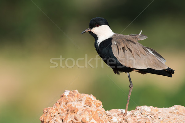 Stock photo: Spur-Winged Lapwing (Vanellus spinosus) standing on one leg