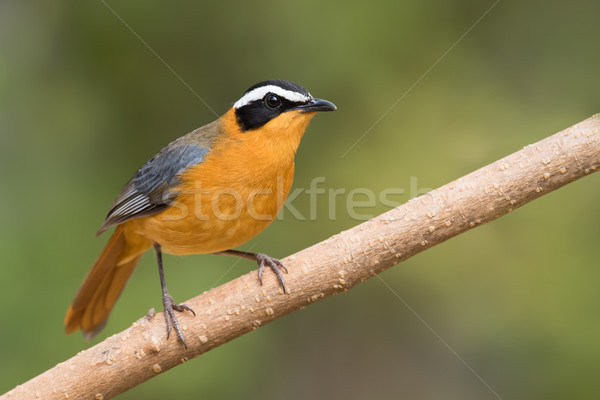 White-browed robin-chat (Cossypha heuglini) perched on a branch Stock photo © davemontreuil