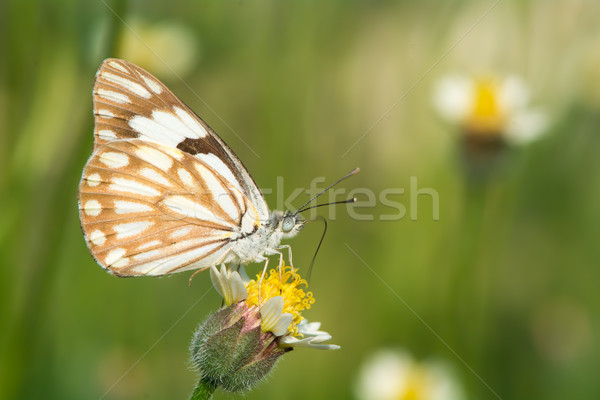 Caper White Butterfly Stock photo © davemontreuil