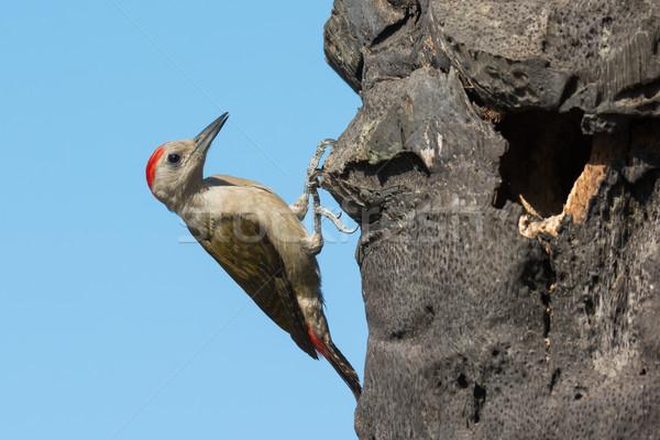 Grey Woodpecker beside his nest Stock photo © davemontreuil