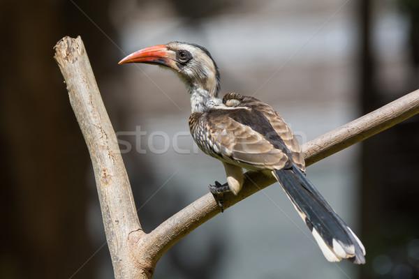 Western Red-Billed Hornbill Stock photo © davemontreuil
