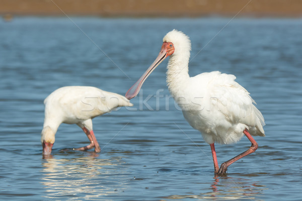 African Spoonbill wading with feathers fluffed Stock photo © davemontreuil