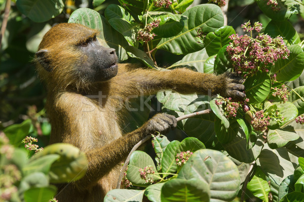 Western Baboon (Papio papio) reaching for an unripe cashew apple Stock photo © davemontreuil