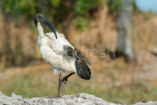 A Sacred Ibis (Threskiornis aethiopicus) looking up from preenin Stock photo © davemontreuil