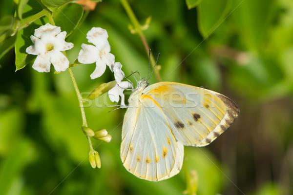 Kobiet kremowy mały biały Motyl pitnej Zdjęcia stock © davemontreuil