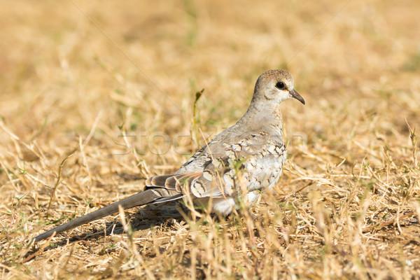 Namaqua Dove (Oena capensis) Stock photo © davemontreuil