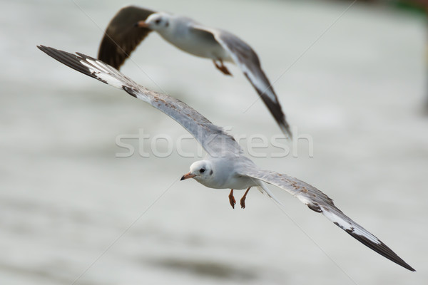 Grey-Headed Gull in flight Stock photo © davemontreuil