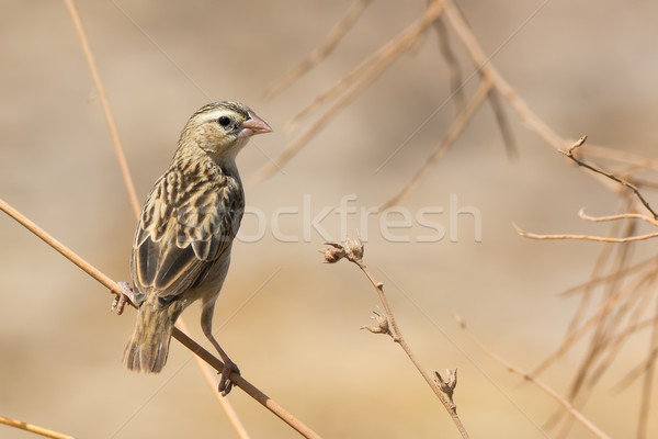 Northern Red Bishop looking back over its shoulder Stock photo © davemontreuil