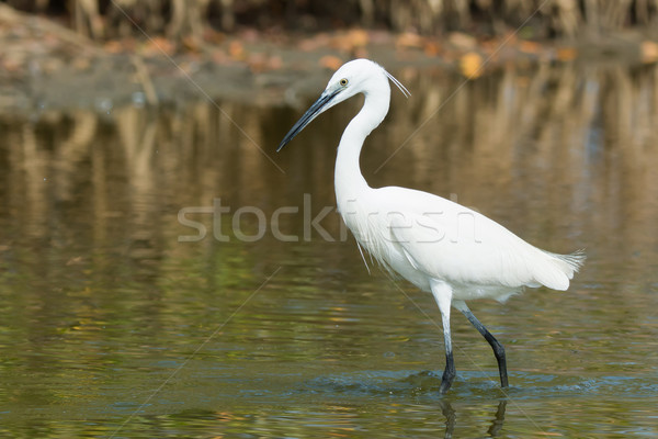 A white Western Reef Heron (Egretta gularis) probing the mud wit Stock photo © davemontreuil