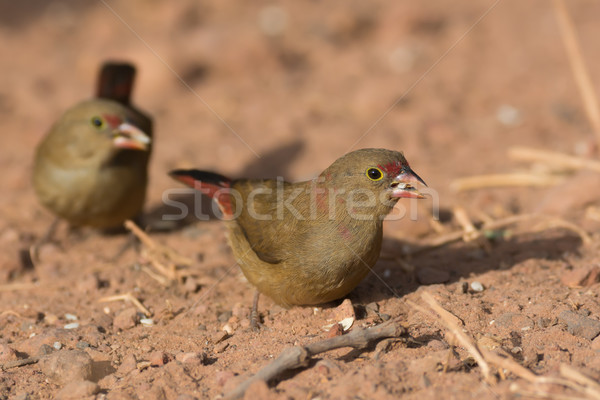 Female Red-billed Firefinch (Lagonosticta senegala) with a grain Stock photo © davemontreuil