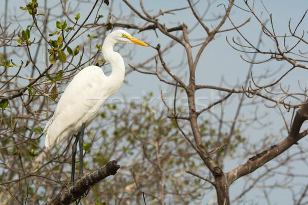 Great White Egret (Egretta alba) Stock photo © davemontreuil