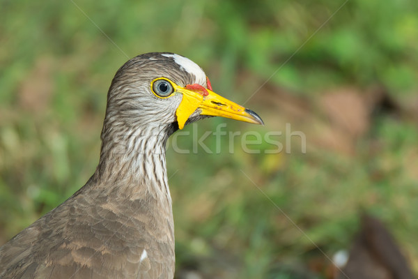 Head Shot of an African Wattled Plover - Vanellus Senegallus Stock photo © davemontreuil