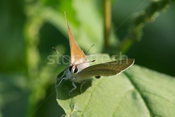 ブラウン 蝶 アフリカ 昆虫 バグ マクロ ストックフォト © davemontreuil
