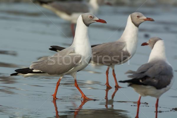 Grey Headed Gulls Stock photo © davemontreuil