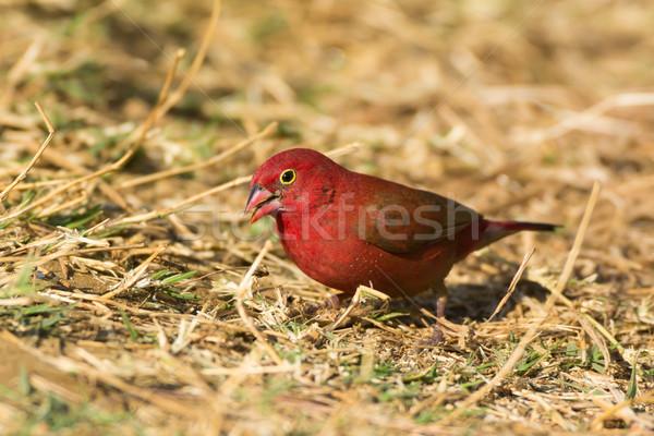 Male Red-billed Firefinch (Lagonosticta senegala) Stock photo © davemontreuil