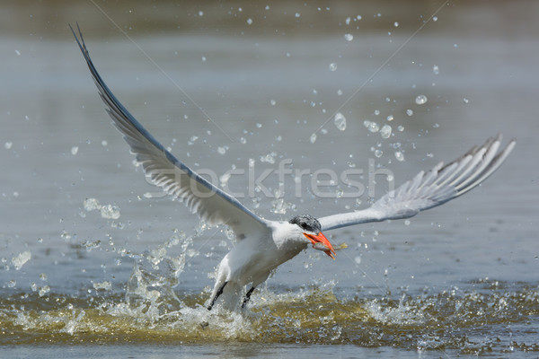 Caspian Tern resurfacing with a fish after impressive impact Stock photo © davemontreuil