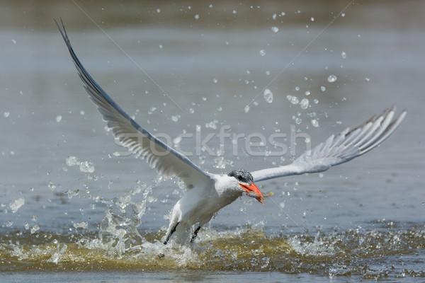 рыбы впечатляющий воды птица Африка успех Сток-фото © davemontreuil