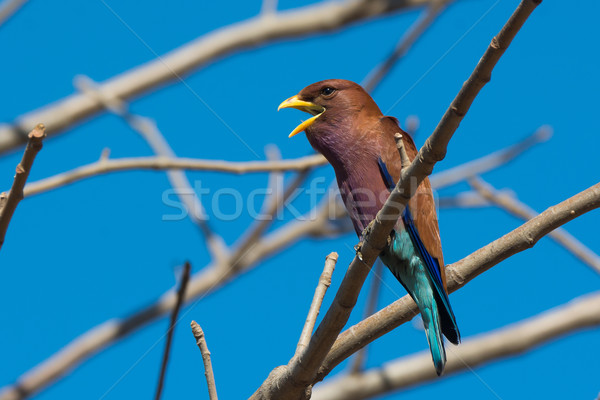 Broad Billed Roller with its mouth open perched in a Baobab tree Stock photo © davemontreuil