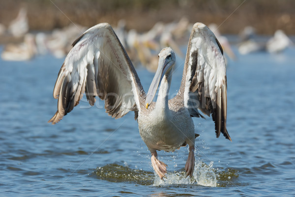 Pink-backed Pelican hopping in the air for a lunge Stock photo © davemontreuil
