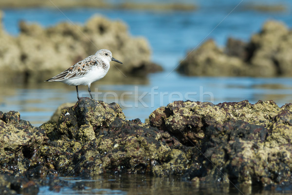 A Sanderling (Caladris alba) standing on barnacle covered rocks  Stock photo © davemontreuil