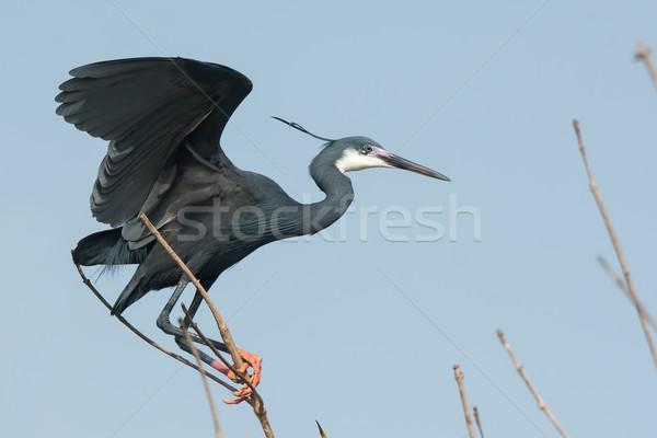 Westerse reiger gezicht vogel donkere mooie Stockfoto © davemontreuil