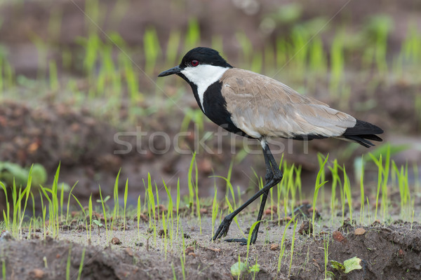 Spur-Winged Lapwing (Vanellus Spinosus) walking along new shoots Stock photo © davemontreuil