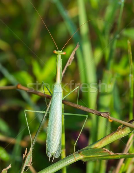 Small Pale Green Praying Mantis Stock photo © davemontreuil