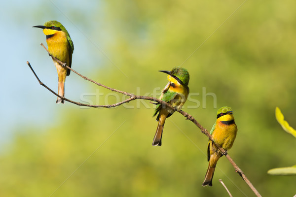 Three Little Bee-Eaters (Merops pusillus) on a branch Stock photo © davemontreuil