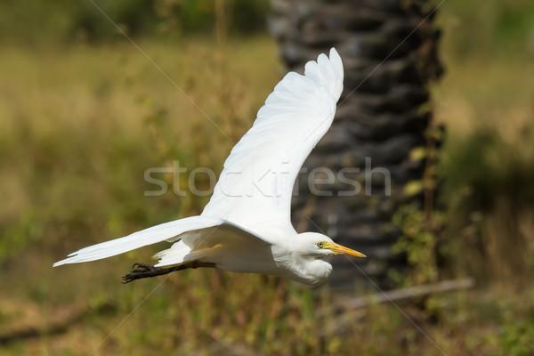 飛行 飛行 ヤシの木 鳥 アフリカ 白 ストックフォト © davemontreuil
